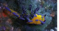 A marine sea slug (nudibranch) loaded with natural organohalogen compounds as antifeedants (Gordon Gribble).